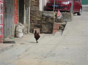 XIAMEN- the rooster that wouldn't leave Jenny alone.. crows at all hours of the night and day!